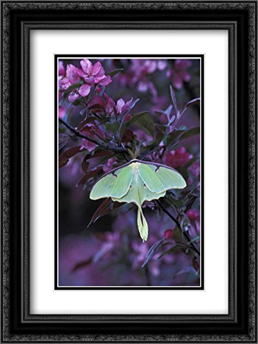 USA, Pennsylvania Luna Moth on crabapple Tree 2X Matted 18x24 Black Ornate Framed Art Print by Rotenberg, Nancy (Crab Luna Apple)