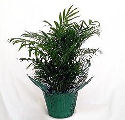 Jm Bamboo-victorian Parlor Palm - Chamaedorea Elegans - Indestructable
