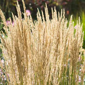 Feather Reed Grass - Size: 1 Gallon (Calamagrostis x acutiflora 'Karl Foerster') by Greener Earth Nursery
