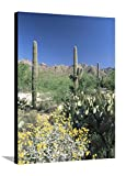 Tall Saguaro Cacti (Cereus Giganteus) in Desert Landscape, Sabino Canyon, Tucson, USA Stretched Canvas Print by Ruth Tomlinson - 30 x 40 in