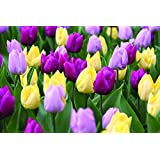 Burpee's Early Prince Tulip Mix - 15 Flower Bulbs | Lavender, Yellow, and Purple | 12 - 14cm Diameter