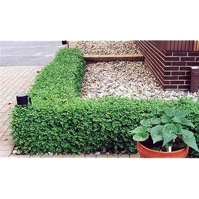 AchmadAnam - Live Plants - Green GEM Boxwood - No Maintenance Evergreen - Full Gallon : Garden & Outdoor