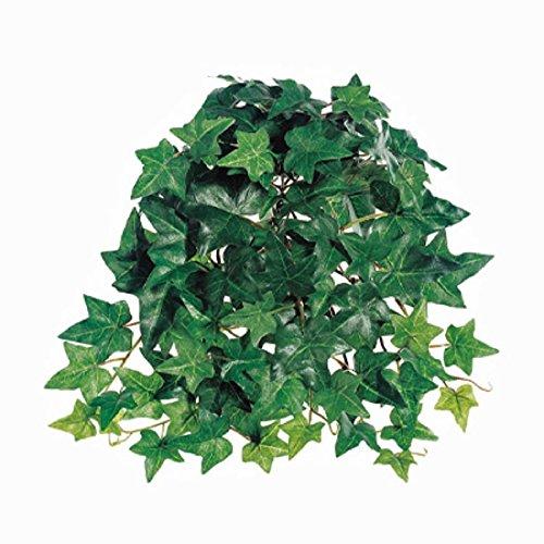 english ivy bush - 2
