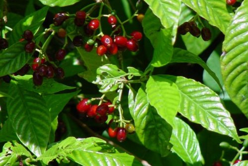 (WILD COFFEE Florida Native Flowering Shrub Plant Ornamental White Fragrant Bloom Small Red Berry Starter Size 4 Inch Pot)