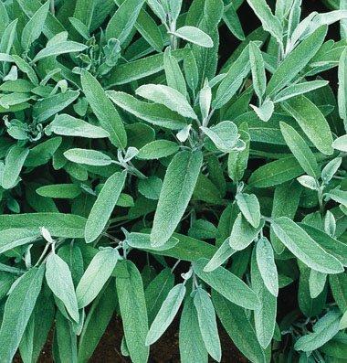 David's Garden Seeds Herb Sage Common EB111SA (Green) 200 Organic Seeds