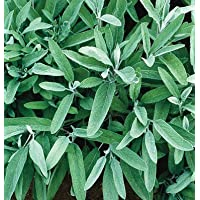 David's Garden Seeds Herb Sage Common SV111SA (Green) 200 Organic Seeds