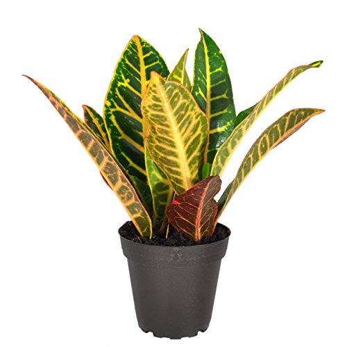 Costa Farms Exotic Angel Croton Live Indoor Plant, Grower's Choice Assortment, 4-Pack by Costa Farms (Image #5)