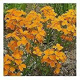 WallFlower 'Golden Bedder' / Erysimum cheiri/Seeds