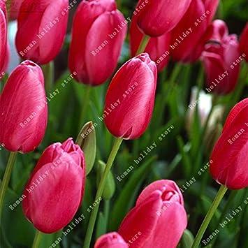 Pinkdose Vraie Fleur Rouge Bulbes Tulipes Bulbes Belle Assez Spa