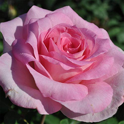 (Own-Root One Gallon Beverly Hybrid Tea Rose by Heirloom Roses )