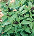 David's Garden Seeds Herb Basil Asian Sweet Thai D945A (Green) 1000 Organic Seeds