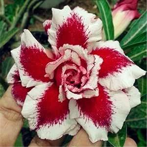 HONIC Desert Rose Flor RARA Interior Bonsai purificador de Aire en ...