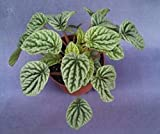 "PEPEROMIA CAPERATA 'SILVER RIPPLE', BEAUTIFUL PLANT SHIPPED IN 4"" POT"