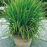 Creative Farmer Herb Plant Seeds Lemon Grass - Citronella Grass Herb Plants For Home Garden Seeds Kitchen Garden Seeds Pack