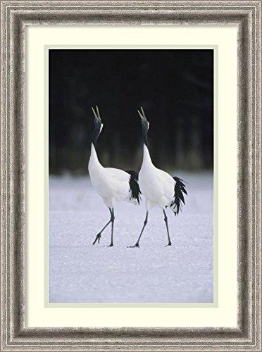 Framed Art Print 'Red-crowned Crane pair calling during courtship dance at their wintering grounds, Hokkaido, Japan' by Konrad (Calling Crane)