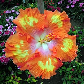 Amazon.com  10+ Dinnerplate Hibiscus/ Perennial Flower Seed/ Easy to Grow/ Huge 10-12 Inch Flowers/ Fairy Dust  Garden u0026 Outdoor : dinner plate flowers - pezcame.com