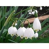 10 Bulbs of Leucojum aestivum Gravetye Giant