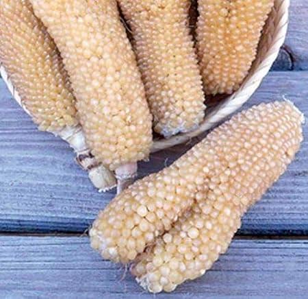 Organic Bear Paw Corn Seed Unique Heirloom Popping Corn Seeds 0.25oz to 4oz