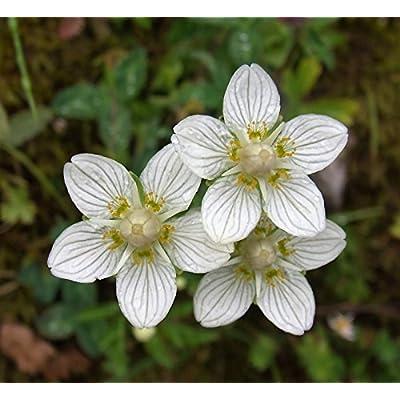 50 Grass of Parnassus Flower Parnassia Glauca American Fen Grass Wetland Seeds : Garden & Outdoor