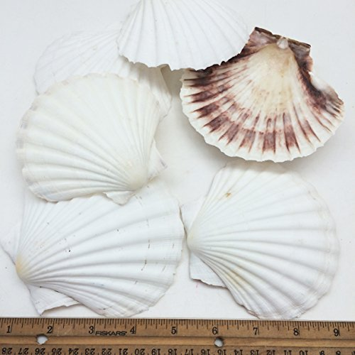 PEPPERLONELY 6 PC Large Great Scallop Sea Shells, Irish Deeps or Irish Baking Shells, 4 Inch ~ 5 Inch (Scallop Small Shell)