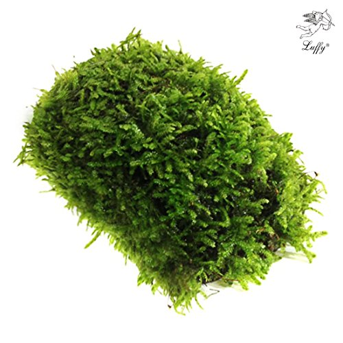 Luffy Coco Mini Moss – Builds a Beautiful and Natural Aquascape: Easy Care, Hardy and Long Lasting Plant: Filters and Provides Aquariums with Oxygen