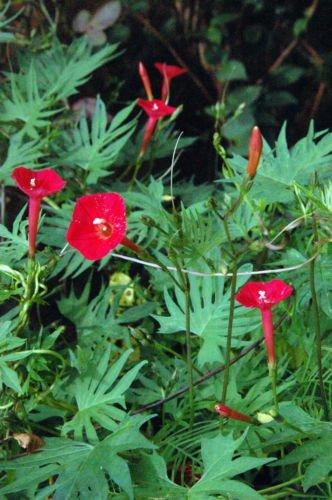 Cardinal Climber - 30 CARDINAL CLIMBER VINE Red Flower Seeds Ipomea Quamoclit *Comb S/H