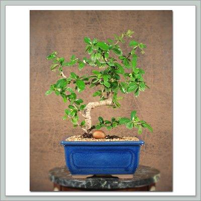 Fukien Tea Bonsai Tree IV