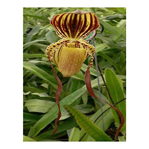 Orchid Live Orchid Slipper Blooming Cypripedium Potted Balcony Garden Pocket Slipper Orchid 100PCS