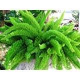 'Myers' Asparagus Fern - Foxtail fern - Evergreen and easy care plant - Great for growing in planters and baskets - Stunning symmetrical look - Spring flowering and autumn berries provide year round interest - Delicate and soft needle style leaves - Easy care plant - An unusual yet wonderful plant for gardens, containers and hanging planters.