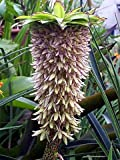 Bi-Color Pineapple Lily - 2 Bulbs 14/16 cm - Eucomis - Marooned Edge