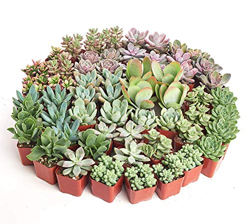 Shop Succulents| Premium Pastel Collection of LiveSucculent Plants, Hand Selected Variety Pack of Mini Succulents | Collection of 140 in 2'' pots by Shop Succulents (Image #3)