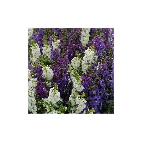 Angelonia Serena Waterfall Mix - 15 Seeds