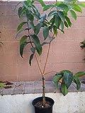 1 Wax Jambu/Wax Apple (Black Dinamond) Tropical Fruit Trees Beauty