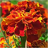 Package of 500 Seeds, French Marigold Sparky Mixture (Tagetes patula) Non-GMO Seeds By Seed Needs