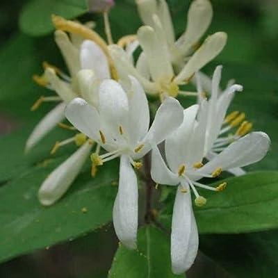Dwarf Honeysuckle Bush Seeds (Lonicera xylosteum) 40+Seeds : Garden & Outdoor