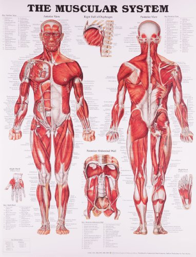 B.o.o.k The Muscular System Anatomical Chart ZIP