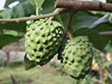 1 Atemoya Tropical Fruit Trees Rare