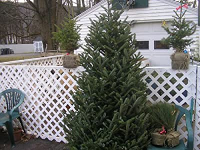 10 Fraser Fir Trees10-12 Inch Christmas Tree Evergreen Seedlings Plants
