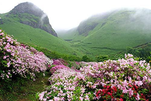 Home Comforts Canvas Print Azalea Japan Flowers Fog ASO Vivid Imagery Stretched Canvas 32 x 24