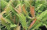 BLECHNUM BRASILIENSIS - BRAZILLIAN TREE FERN - STARTERS - 2 PLANTS