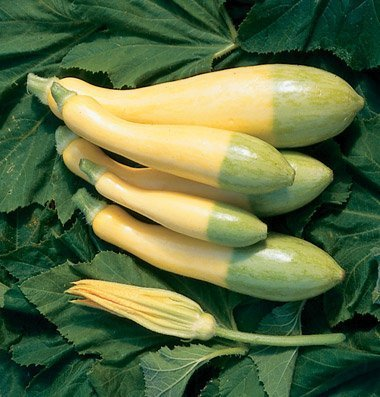 David's Garden Seeds Squash Summer Zephyr D2217 (Yellow Green) 25 Hybrid Seeds