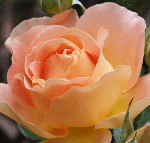 gardenexpert Rosa Bush Rose Hybrid Tea 'Alpine Sunset' Plant Imberhorne Lane Nursery