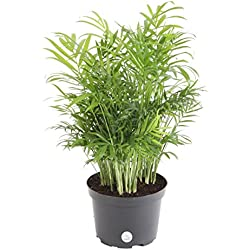 Costa Farms Parlor Palm Live Indoor Tabletop Plant in 6-Inch Grower Pot