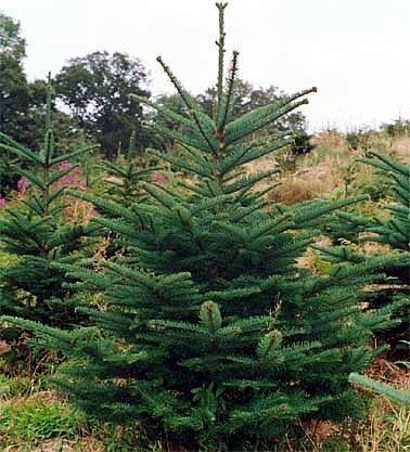Noble Fir 15 Seeds Abies Procera Bonsai Or Outdoors Artificial Christmas Tree Shop