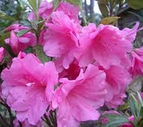 Amazon Pink Ruffle Azalea Plants Rutherford Hybrid 15