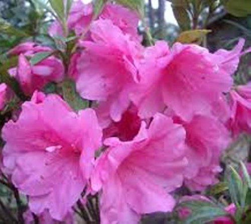 Hybrid Azalea - Pink Ruffle Azalea Plants ( Rutherford Hybrid ) (1.5 Gallon)