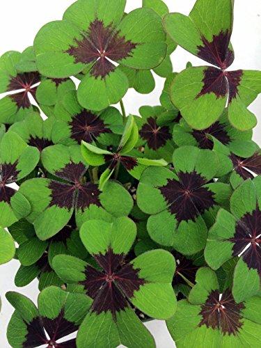 Carmine Iron - 20 Iron Cross Shamrock Oxalis Bulbs not plants - Easy grow houseplant - 4