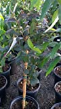 Red Malaysian Guava Tree--3 to 4 Feet Tall, Shipped in Soil Year Round