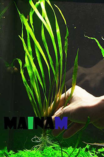 Jungle Vallisneria Spiralis Rooted Easy Background Live Aquarium Plants Decorations 3 DAYS LIVE GUARANTEED By Mainam