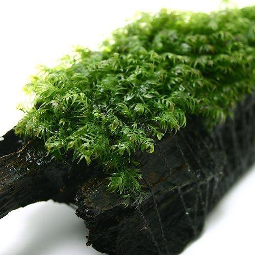 Aquarium-Live-Water-Plants-Tapis-de-mousse-deau-Fissidens-fontanus-pour-aquarium-Ne-contient-pas-de-pesticides-4-x-4-cm